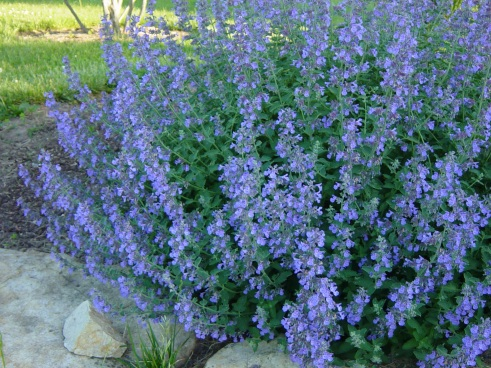 Catmint Nepeta 'Walkers Low'