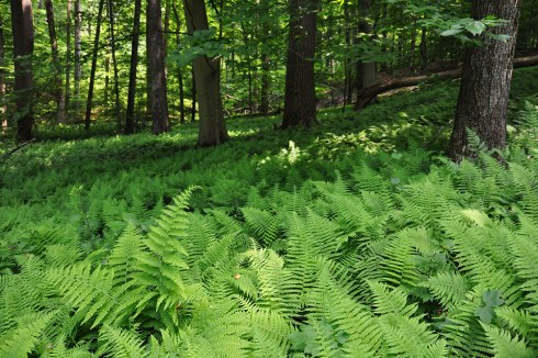 fern hay-scented