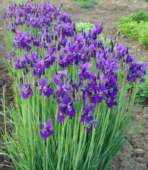 Siberian Iris - Carsar's Brother Iris